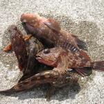 和歌山青岸 タコ釣りは撃沈もアコウを釣って面目保つ!