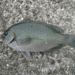 和歌山下津港の釣り ヌカ切り釣果【ガチろっくん編】