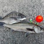 泉南でハネとチヌのエビ撒き釣り(泉佐野食コン第2戦)