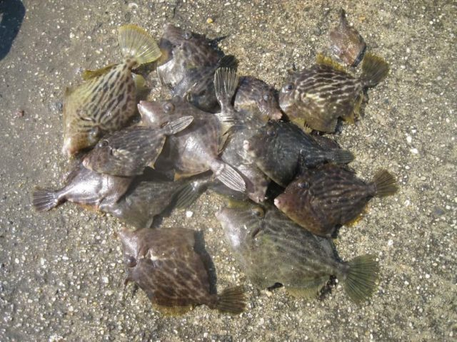 本日のカワハギ釣果