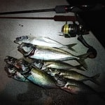 石津漁港のアジング釣果