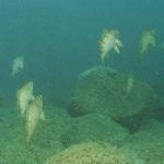 春告魚メバルの特性 住処と時合(積極的にエサを捕食する条件)