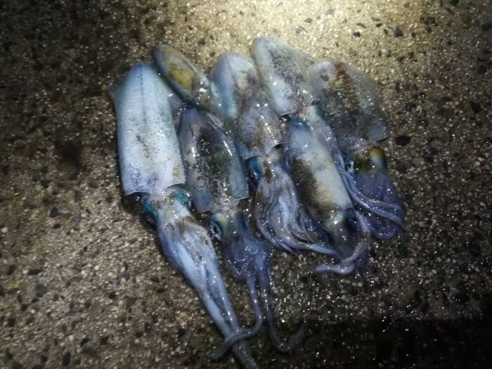 伊根網干場でのアオリイカ新子の釣果