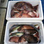 成ヶ島沖での本日のマダイ釣果