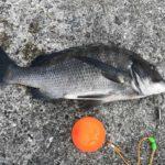 本日の紀州釣りの釣果