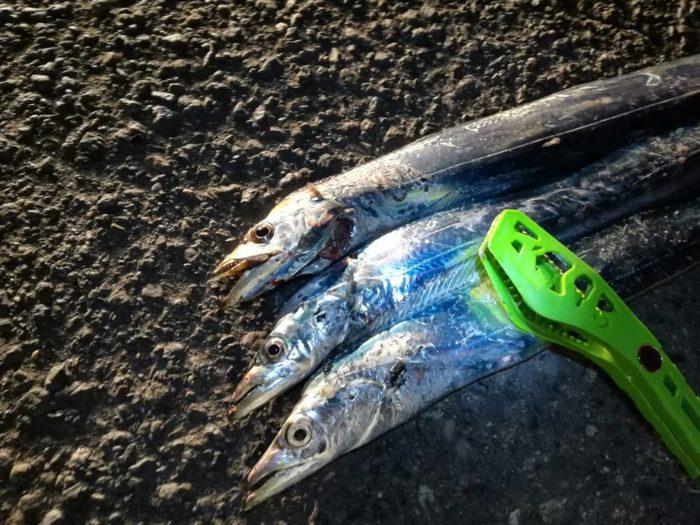 本日の大浜埠頭でのタチウオ釣果