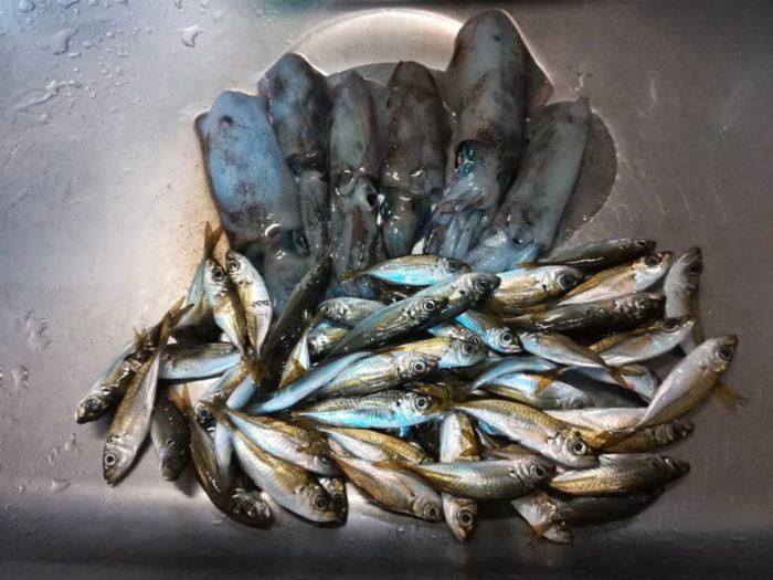 田井漁港でのアオリイカとアジの釣果