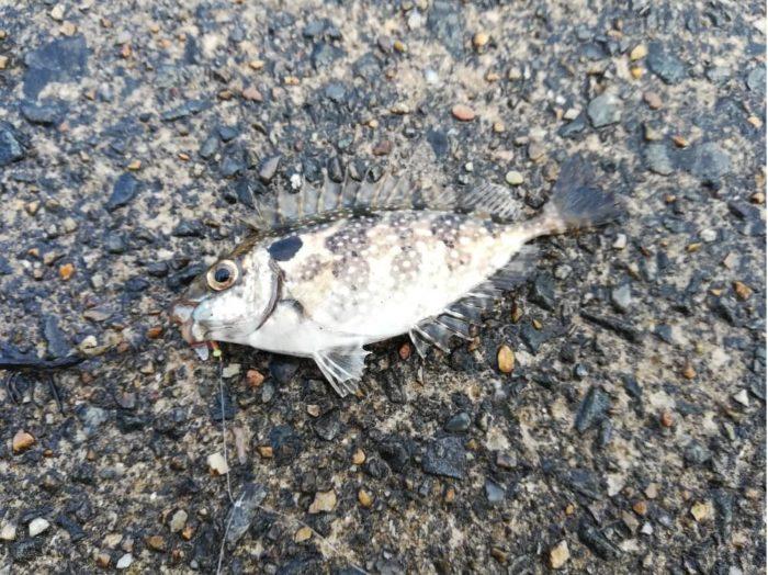 アイゴの幼魚(毒魚)