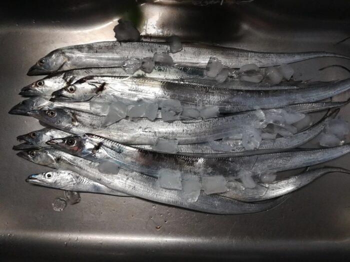 水軒の鉄鋼団地でのタチウオ釣果