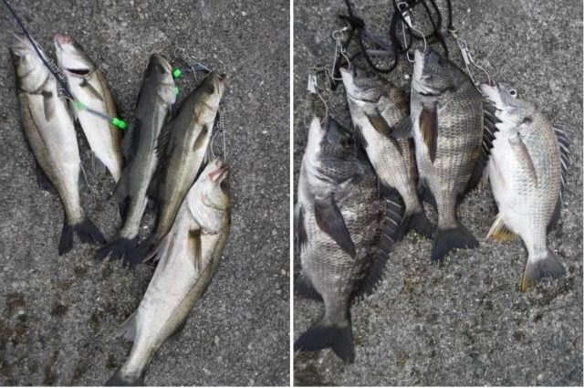 チヌやハネのエビ撒き釣りシーズン