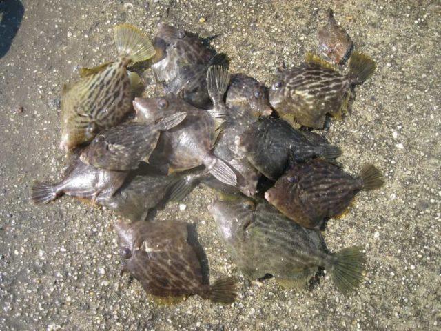 カワハギの数釣り