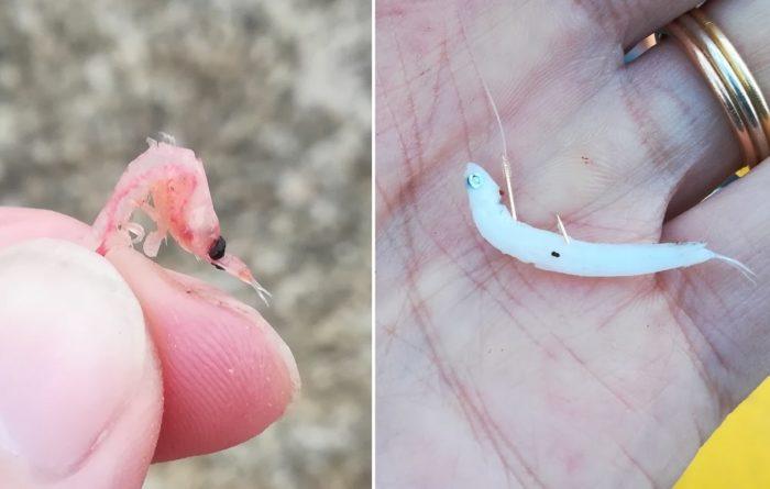 刺し餌はサシアミ(左)とシラス(右)