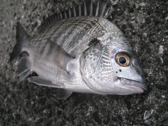 チヌ(クロダイ)の特徴、釣り場、シーズン
