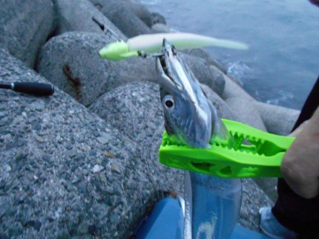 波止釣りの人気ターゲット【太刀魚】