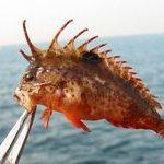 波止釣りで注意すべき毒棘がある危険な魚