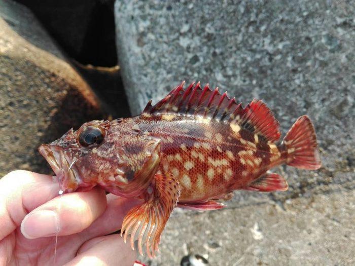 穴釣りで釣果が確実なカサゴ(ガシラ)