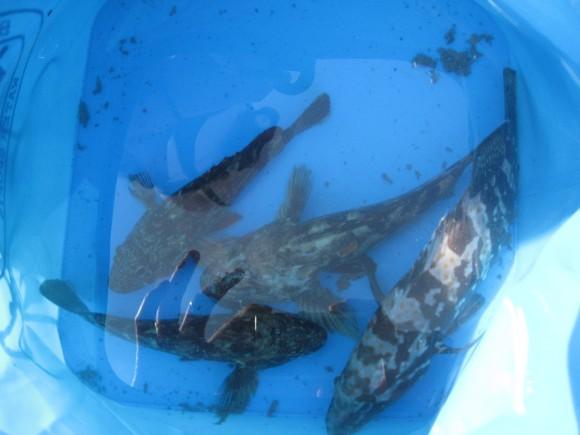 魚を活かしておく水汲みバケツ